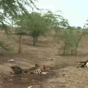 Pior seca da história tem feito criadores perder gados no Sertão (Foto: Reprodução/TV Gazeta)