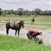 Fase atual é de atualização dos dados nos projetos Boacica e Itiúba; pacotes tecnológicos da Embrapa para a cultura do arroz serão utilizados